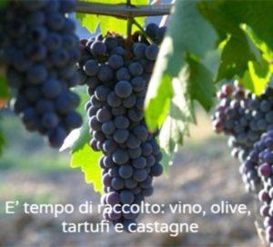 Vendemmia Toscana
